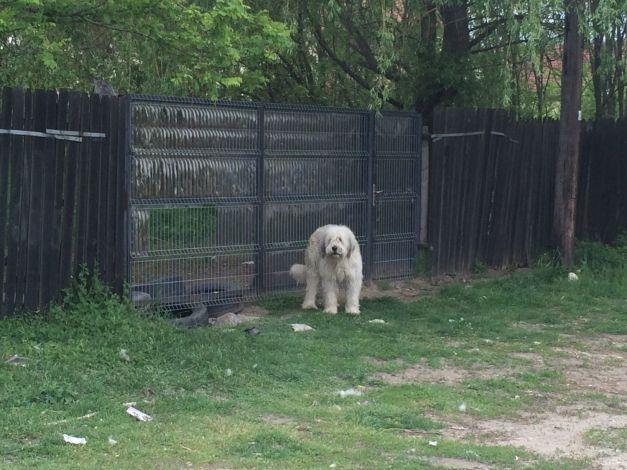Hachikō de Dolj, câinele care de cinci ani îşi aşteaptă stăpânul mort