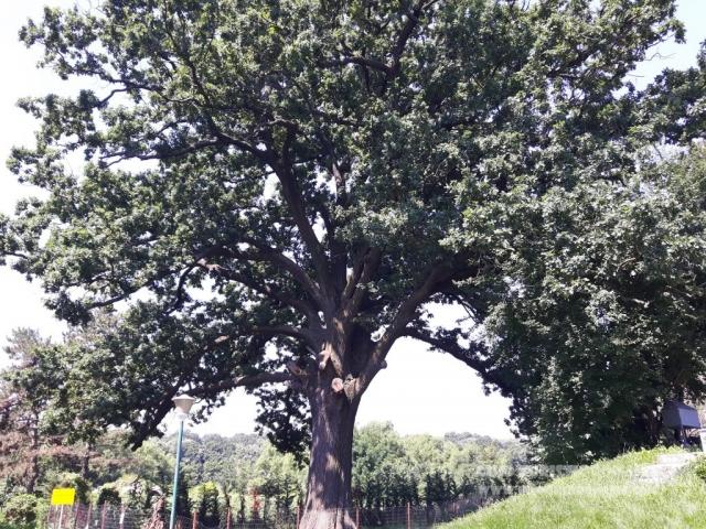 Arbore secular Manastirea Cernica